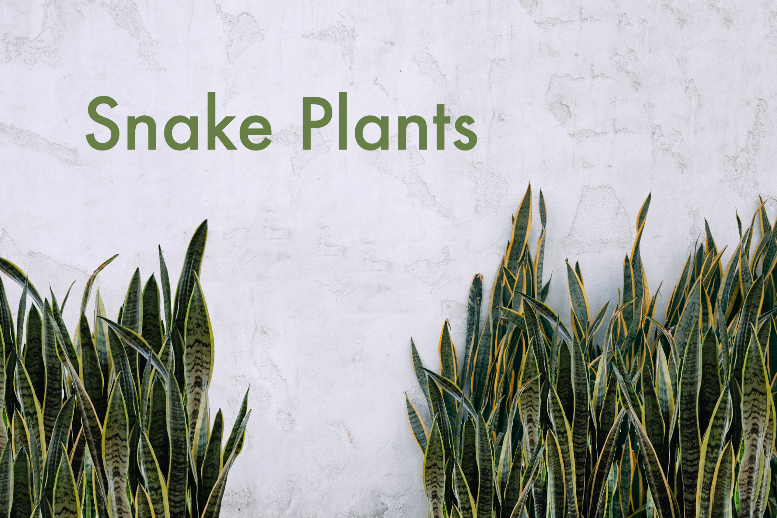 Top 7 Snake Plant Facts